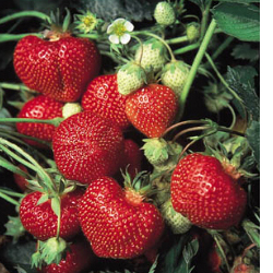 Cavendish Strawberry Plants, Strawberries