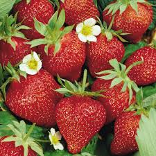 Ozark Beauty Strawberry Plants, Strawberries
